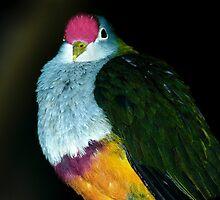 Beautiful Fruit Dove by NinaOswald