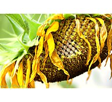 Withered Sunflower Photographic Print