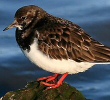 The Turnstone by snapdecisions