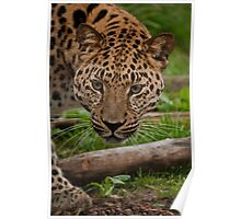 Amur leopard - The definition of beauty Poster