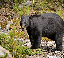 Black Bear, Canada by Philippe Widling