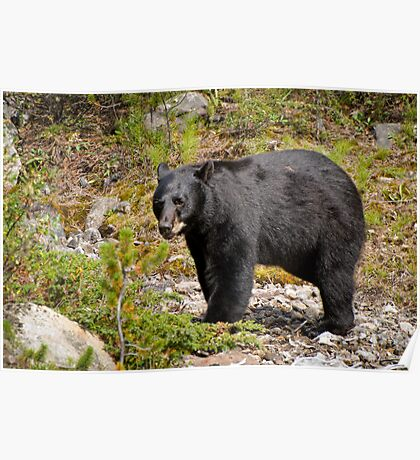 Black Bear, Canada Poster