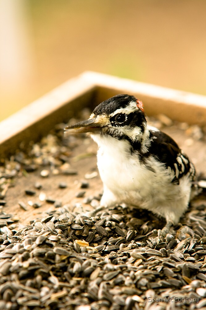 Woodpecker by Sean McConnery