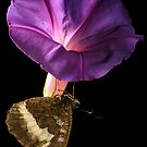 Brintesia on Ipomoea by jimmy hoffman