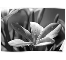 Frangipanis in balck and white  Poster