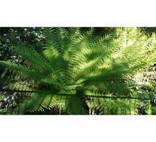 Tree fern  Photographic Print