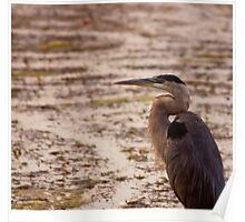 Great Blue Heron - Rideau River, Ottawa Poster