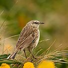 Campbell Island Pipit by Gina Ruttle  (Whalegeek)