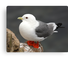 Red-legged Kittiwake Canvas Print