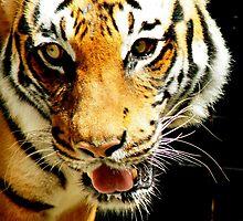 Malayan Tiger by Jim Sugrue