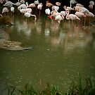 Gathering Rain - Flamingos at Basel Zoo by Kathryn Steel