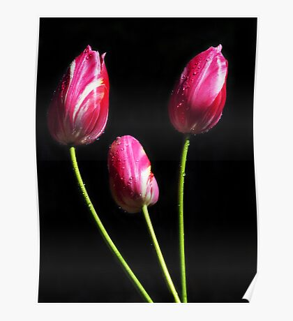 Three Candy Striped Tulips Poster
