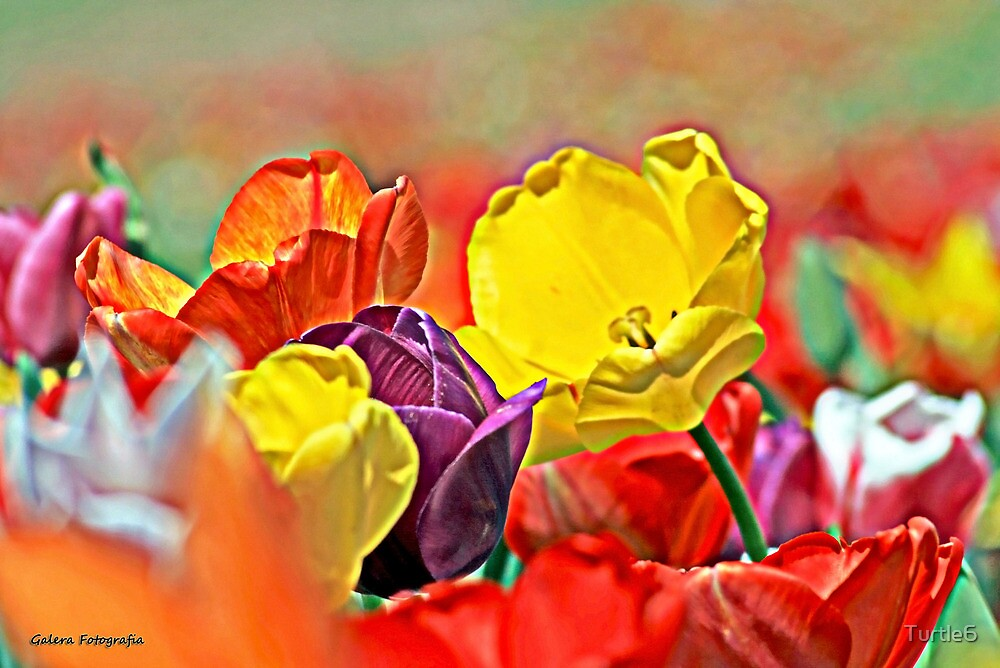 Tulips by Turtle6
