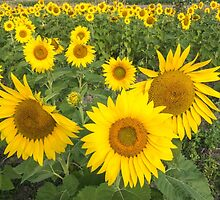 Field of sunflowers in summer by Josef Pittner
