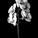 Lone Orchid by ColeCollection
