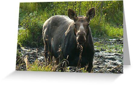 September Cow Moose by mooselandtours