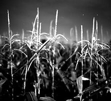 Corn - silk field by rince77