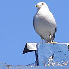 Seagull Blue by royxnavy