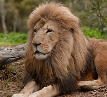 King of Werribee Zoo by Tom Newman