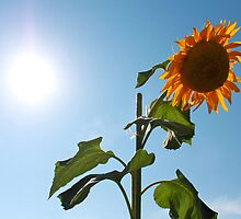 Sunflower under a searing sun by ennero