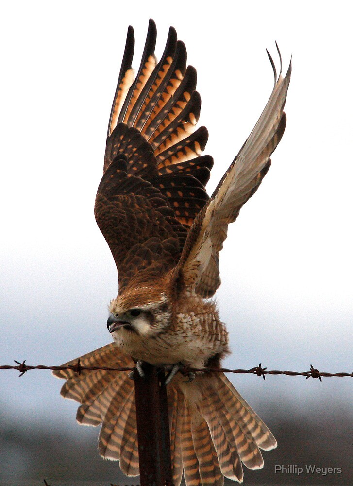 In a Flap by Phillip Weyers