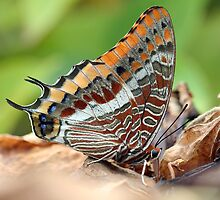 Charaxes jasius by jimmy hoffman