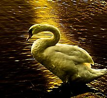 Swan at sunset by LudaNayvelt