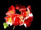 Geranium on black by Antionette