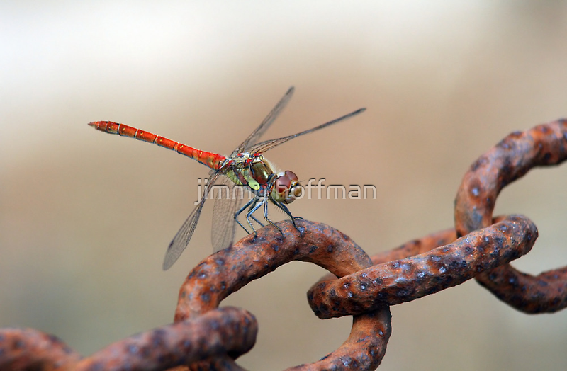 Red dragonfly by jimmy hoffman