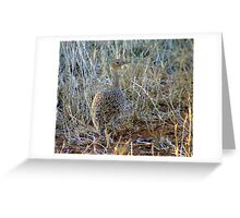 Red crested Korhaan Greeting Card