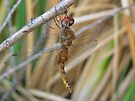 Dragonfly ~ Wandering Glider (Male) by Kimberly Chadwick