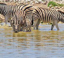 Zebra - Living a Colorful Life by LivingWild