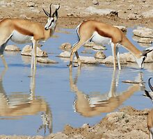 Springbok Antelope - Iconic Wildlife from the Desert by LivingWild