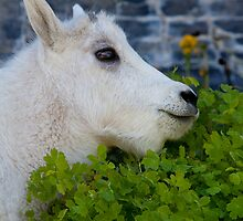 Mountain Goat Kid by Kent Keller
