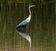 Great Grey Heron by Jeffrey  Sinnock