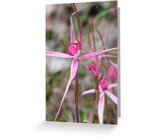 Rosella Spider Orchid - Arachnorchis rosella Greeting Card