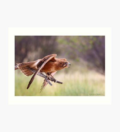 The Brown Falcon Art Print