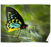 Cairns Birdwing - Male, Mission Beach,FNQ. Poster