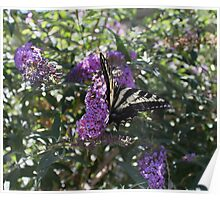 The Western Tiger Swallowtail Butterfly......... Poster