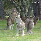Kangaroo Mob watching with suspicion by apotek