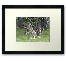 Kangaroo Mob watching with suspicion Framed Print