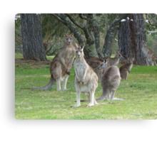 Kangaroo Mob watching with suspicion Canvas Print