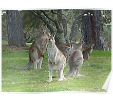 Kangaroo Mob watching with suspicion Poster