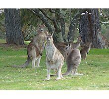 Kangaroo Mob watching with suspicion Photographic Print