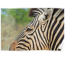Zebra - African Wildlife - Tranquility Pose Poster