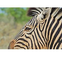 Zebra - African Wildlife - Tranquility Pose Photographic Print