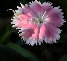 Dianthus And A Predator by Gary Fairhead