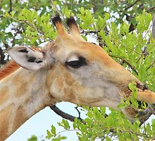 Giraffe - African Wildlife - Pleasure of Food by LivingWild