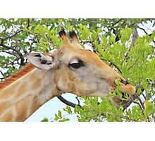 Giraffe - African Wildlife - Pleasure of Food Photographic Print