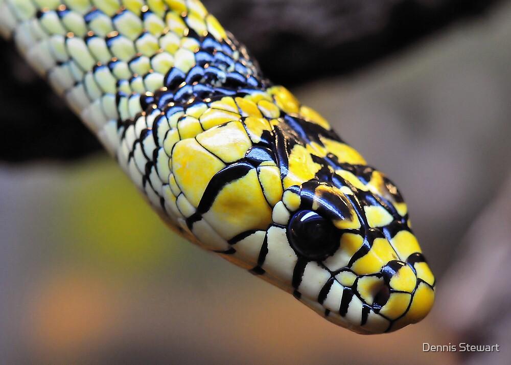 Tiger Rat Snake by Dennis Stewart